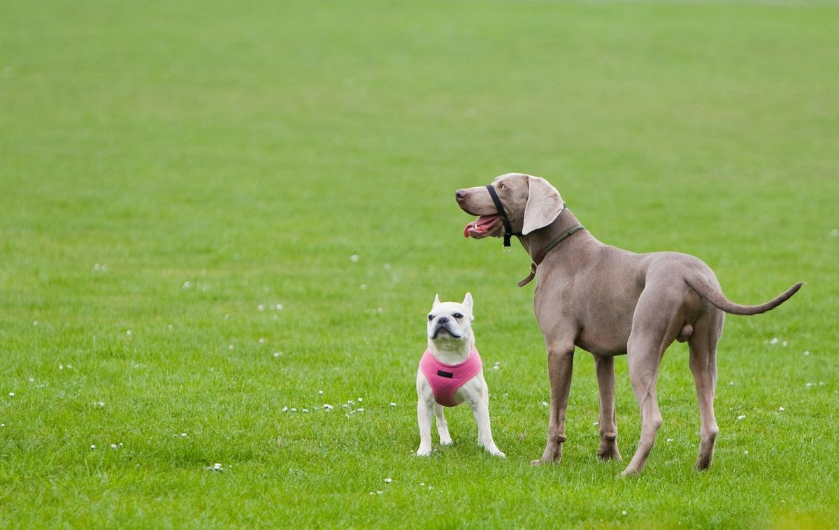 compatibilitatea dintre caini