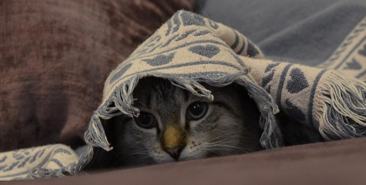 anxietatea la pisici