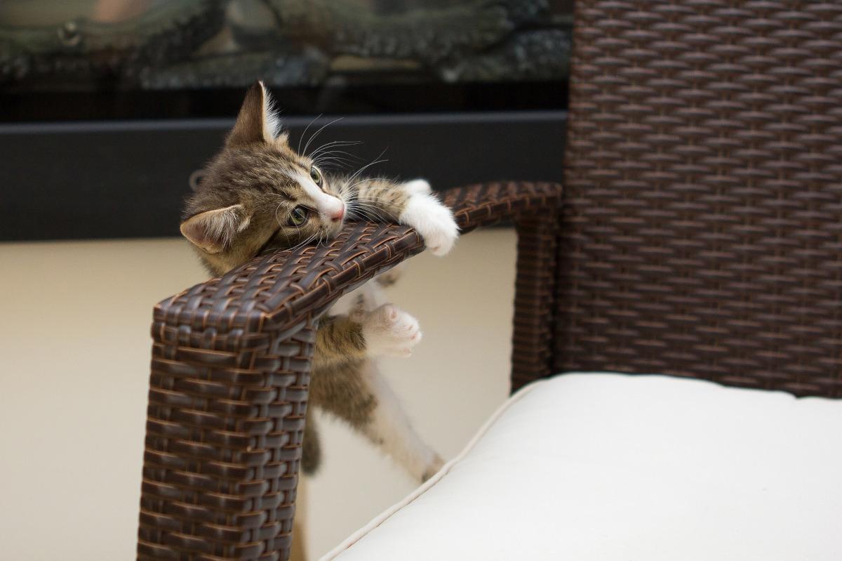 dresaj pisicuta